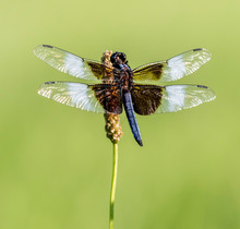 Widow Skimmer Dragonfly On Tall Grass