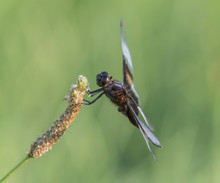 Widow Skimmer Dragonfly On Tal...