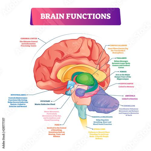 Obraz Brain functions vector illustration. Labeled explanation organ parts scheme - fototapety do salonu