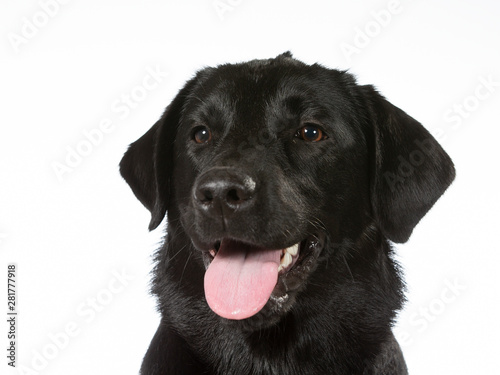 Photographie  Black labrador dog portrait
