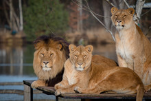 Three Lions, Two Lionesses And One Lion