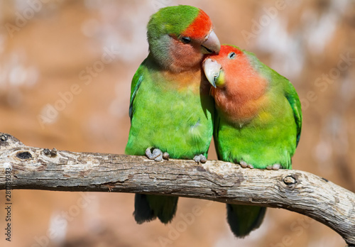 Moment of tenderness between a pair of parrots Canvas Print