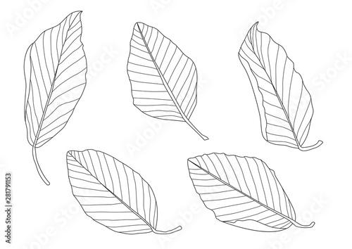 Fotografia  Skeletal leaves Dry leaf lined design on white background illustration vector