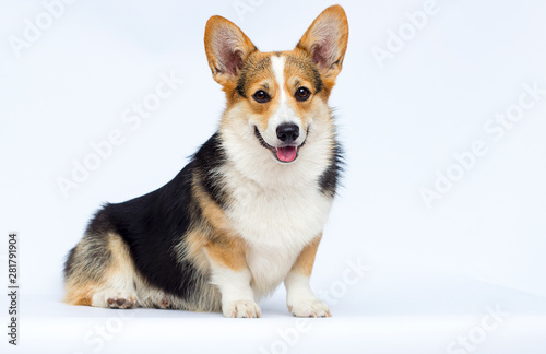 Foto  adult welsh corgi breed dog sitting full growth on a white background