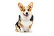 welsh corgi breed dog sitting on a white background