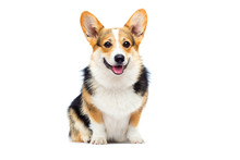 Welsh Corgi Breed Dog Sitting ...