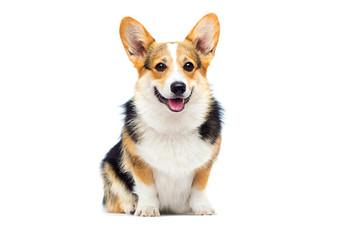 pas pasmine velški corgi koji sjedi na bijeloj pozadini