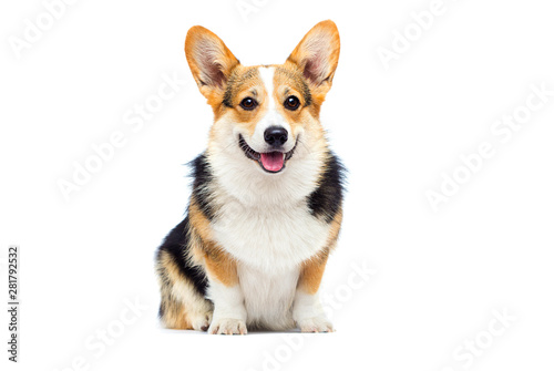 welsh corgi breed dog sitting on a white background Canvas Print