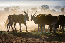 Eland Eating Grass Early In The Morning In The Namib Desert, Namibia