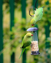 Two Ring Necked Green Parakeet...