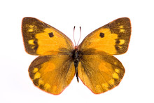 Colias Eurytheme Butterfly