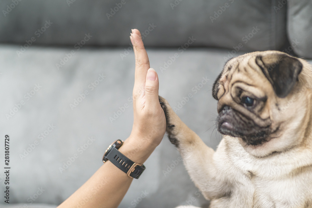 Fototapety, obrazy: Cute dog Pug giving paw high five owner with love feeling so happiness and comfortable,Relax with dog in holidays,Selective Focus