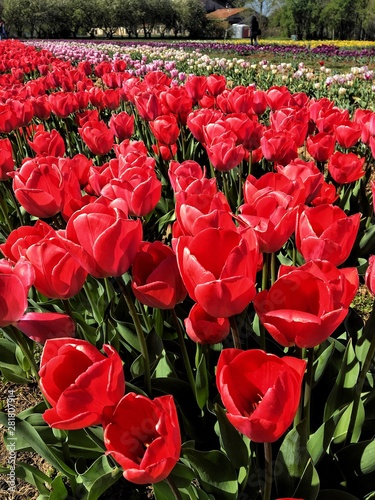 Apotheosis of colored tulips Wallpaper Mural