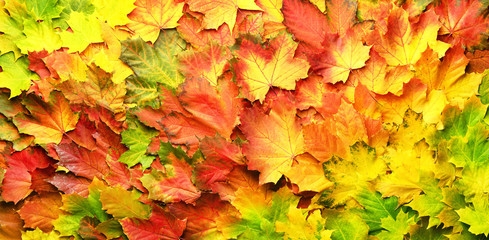 Naklejka na ściany i meble Red, orange, yellow and green maple leaves background. Golden autumn concept. Sunny day, warm weather. Top view. Banner with light bokeh
