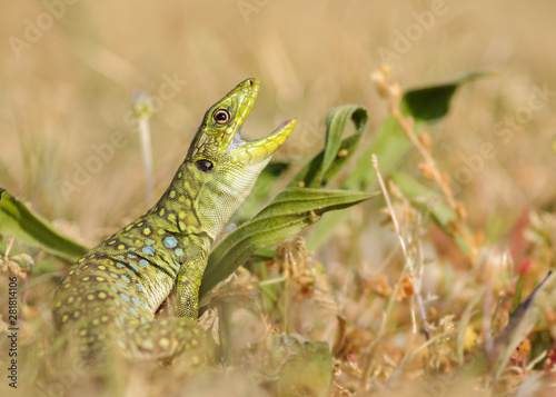 Young ocellated lizard (Timon lepidus) Wallpaper Mural