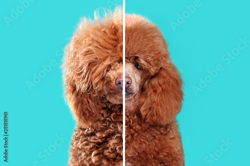 Fotomural Collage of closeup portraits of poodle before and after grooming against aqua ba