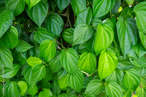 Photo Piper plu is planted in a vegetable garden, betel leaves near the greene betel leaf of betel leaf, the southeast Asian medicinal plants
