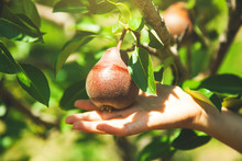 Baby Hand Pear In Tree