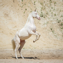 Beautiful White Rearing Arabian Horse With Long Mane Against Sandy Background