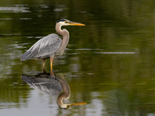 Great Blue Heron With Reflection Standing On The Pond With Green Water