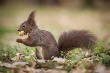 Naklejka na ściany i meble squirrel eating nuts