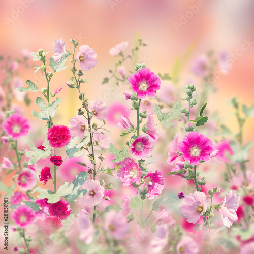 Obraz Hollyhock flowers blooming in the garden - fototapety do salonu