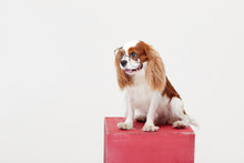 Smart Dog. Cavalier King Charles Spaniel Dog In Glasses Isolated On White Background. Education And Training Concept. Space For Text