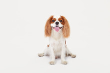 Smart Dog. Cavalier King Charl...
