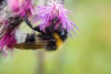 Bumblebee On Flower Macro. Wil...