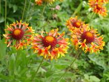 Gaillardia Pulchella Red-yellow Flower Close Up