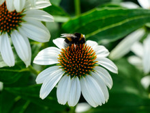Bumblebee And White Echinacea ...