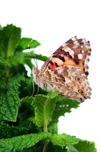 Butterfly Painted Lady Sitting On A Mint Branch Isolated On A White