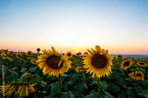 In de dag Zonnebloem Field of blooming sunflowers in sunset