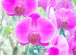 canvas print picture - Purple orchid flowers (flower)