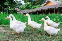 Ducks Many White A Rice Field ...