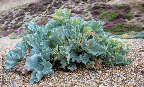 sea Kale on The Beach Wallpaper Mural