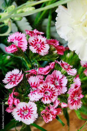 A popular fragrant biennial garden plant, Sweet William or Dianthus barbatus Wallpaper Mural
