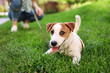 Adorable Jack Russell Terrier dog on green grass outdoors