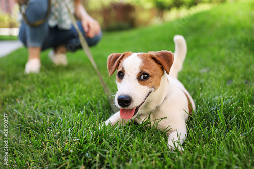 Fototapeta Adorable Jack Russell Terrier dog on green grass outdoors