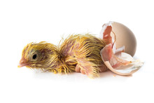 Newborn Yellow Chicken Hatchin...