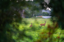 Two Deer  In  A Meadow