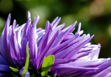 Petals Of Purple Aster Flower Close-up