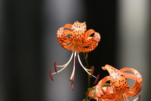 A Tiger Lily Flowers In Summer, And A Scaly Bulb Becomes Edible.