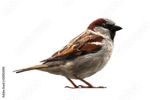 Sparrow bird isolated Wallpaper Mural