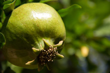Young Green Pomegranate Grows On A Tree