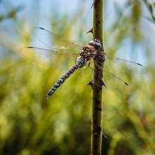 Dragonfly In English Garden On A Thornbush