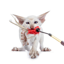 Funny Siamese Kitten Pulling A Feather Toy With Mouth. Looking Cross Eyed To Toy / Camera. Paw In Air Showing Nails. Isolated On White Background.