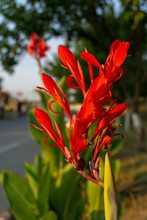 Red Canna Flowers Close-up With Blurred Background