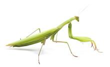European Mantis Or Praying Mantis, Isolated On White