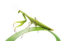 European Mantis Or Praying Man...